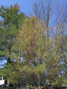 Environmental stressors on evergreens in Boston